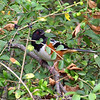 My First Spotted Towhee