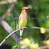 Cedar Waxwing In The Sunshine