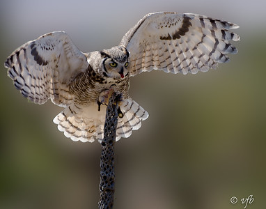 Great Horned Owl in Training