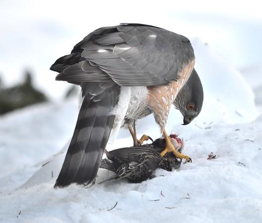 Sharp-shinned Hawk eating its prey