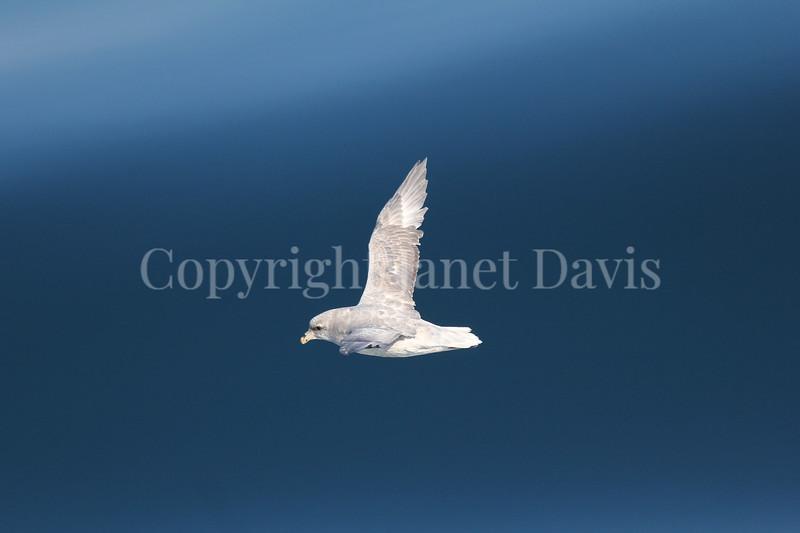 Fulmarus glacialis - Northern fulmar  1