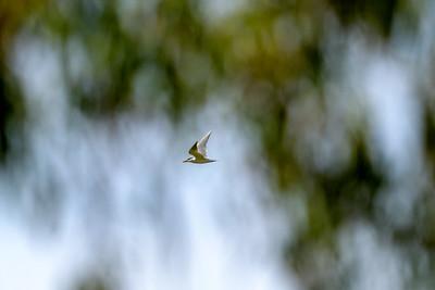 Caspian Tern Among the Trees