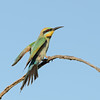 Rainbow Bee-eater just landed, Federation Walk, Gold Coast, Queensland.