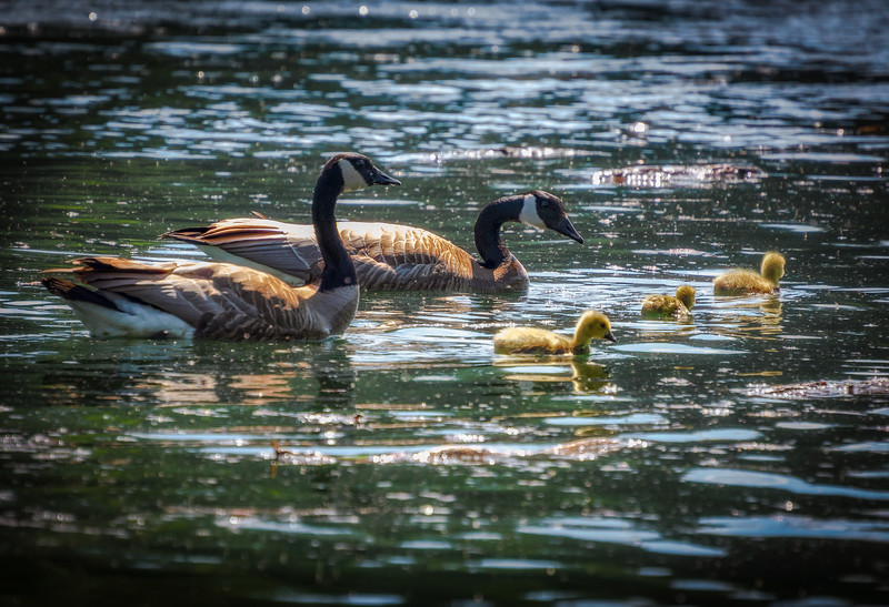 Canada Geese on Columbia River