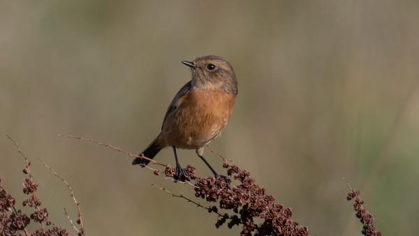 Female Stonechat 6 -  Speen Moors Walk