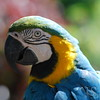 Blue and Gold Macau Parrot Photo