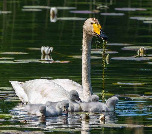 Whooper swan (sångsvan) with cygnets in Linasjön!