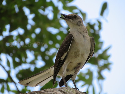 Momma Mockingbird
