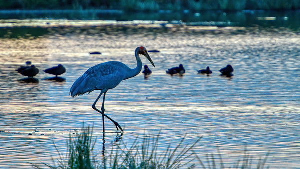 Brolga Feeding, Long Swamp, Townsville Common. 1.