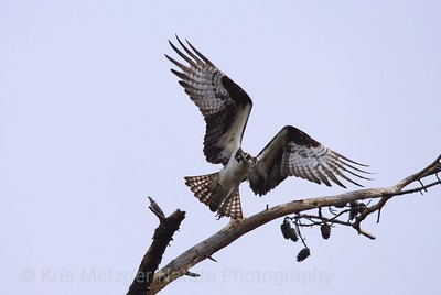 Osprey Taking Wing