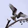 Osprey Taking Wing