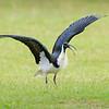 Straw-necked Ibis, The Broadwater, Gold Coast, QLD.