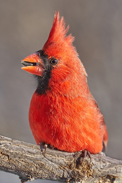 Male Cardinal with sunflower seed