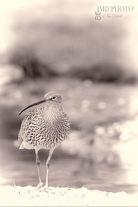soft curlew