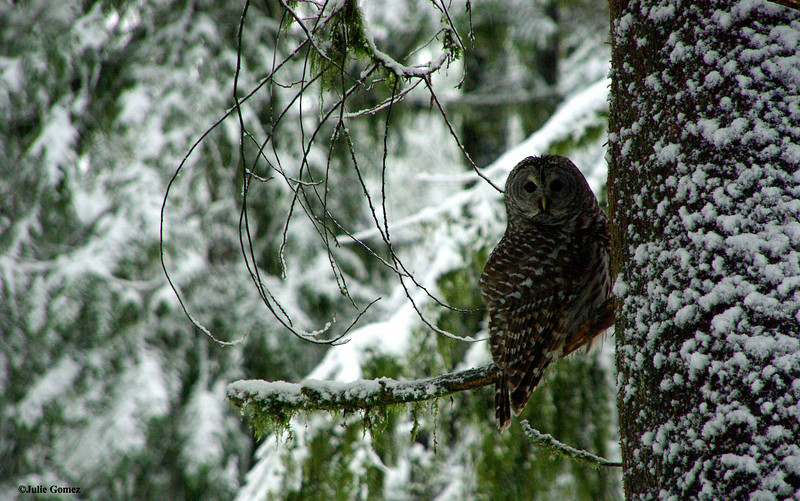 Barred Owl ~ Strix varia