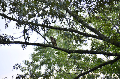 Accipitridae -  Unknown Hawk