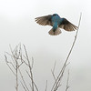 Leaving  - Tree Swallow