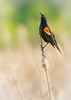 Male Red-winged Blackbird in a Minnesota wetland