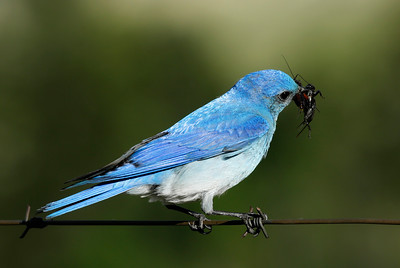 Male Bluebird with Grasshopper