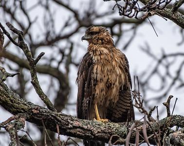 Great Black Hawk profile