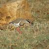 Vanellus coronatus – Crowned lapwing 1