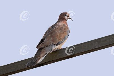 Laughing Dove Perched on an Iron Bar with a Light Blue Sky Background