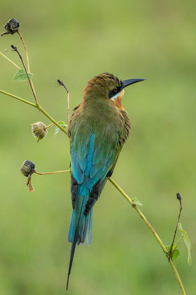 Blue bee-eater