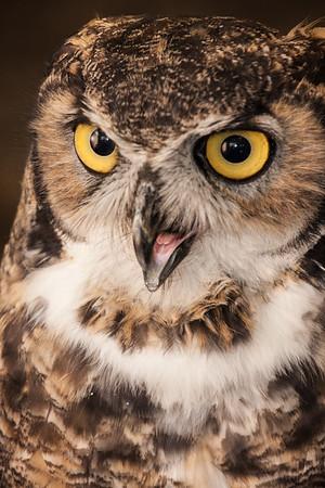 Owl, Bosque del Apache WLR, NM