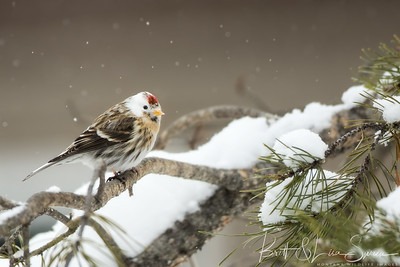 Female Common Redpoll with White Head