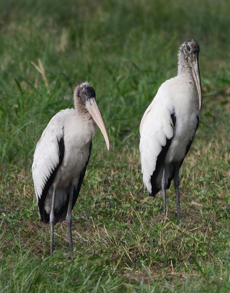 Pair of Wood Storks.