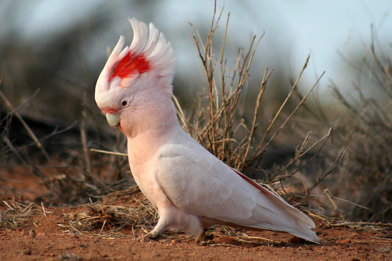 Major Mitchell's Cockatoo (Cacatua leadbeateri)