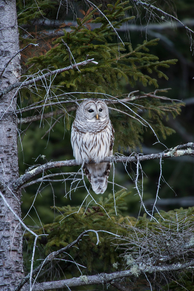 Barred Owl in the Adirondacks