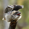 Laughing Kookaburra_538