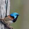 Variegated Fairywren (Malurus lamberti),Tallebudgeraba Creek, Burleigh Heads, Queensland.