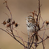 Singing Song Sparrow - Nova Scotia