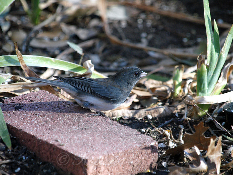 Enjoy the Sunshine While You Can Little Junco, Winter is Coming Back