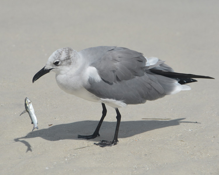 Laughing Gull with fresh catch; mid-air.