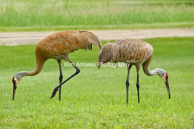 Cranes, Huron Meadows