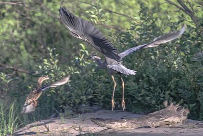 Mallard attacks a Great Blue Heron