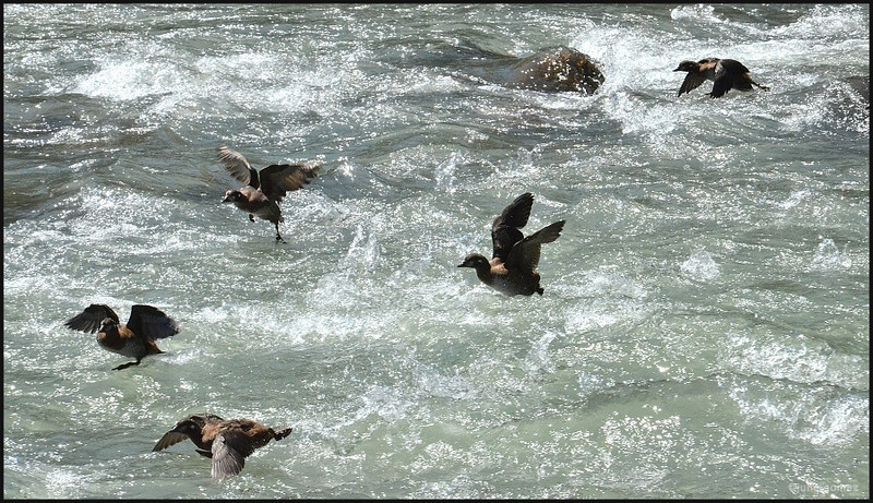 Crossing the Rapids Harlequin Style!