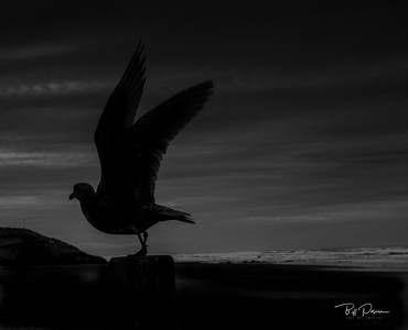 Shadow  Gull
