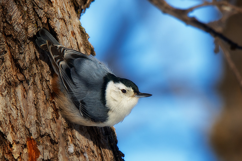 I think it's funny how a Nuthatch always seems to have it's head facing downward.  Apparently, This upside down foraging allows them to find food in crevices that other trunk feeders might miss.