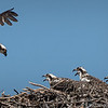 Osprey bringing a fish to its young ones