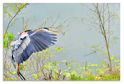 Great Blue Heron On the fly