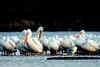 American White Pelican, Pelicanus erythrohynchos