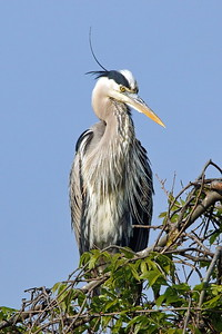 Tricolored Heron in Hilton Head Wildlife Refuge