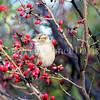 Passer domesticus – House sparrow 13