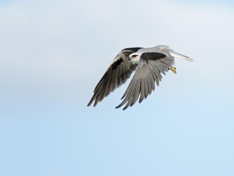 Black-shouldered Kite, Federation Walk Coastal Reserve, Gold Coast, QLD