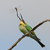 Rainbow Bee-eater tossing a Dragonfly, Federation Walk, Gold Coast, Queensland.