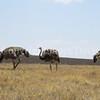 Struthio camelis-Ostriches 5